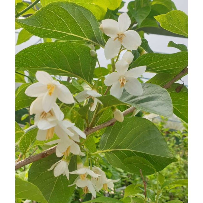 Styrax japonica 'Emerald Pagoda' - early summer flowers