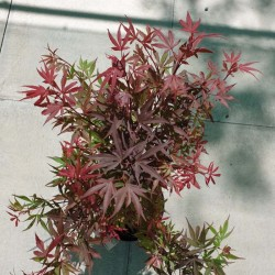 Acer palmatum 'Shaina' - summer leaves