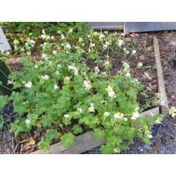 Geranium macrorrhizum 'White Ness' - 3 year old plant