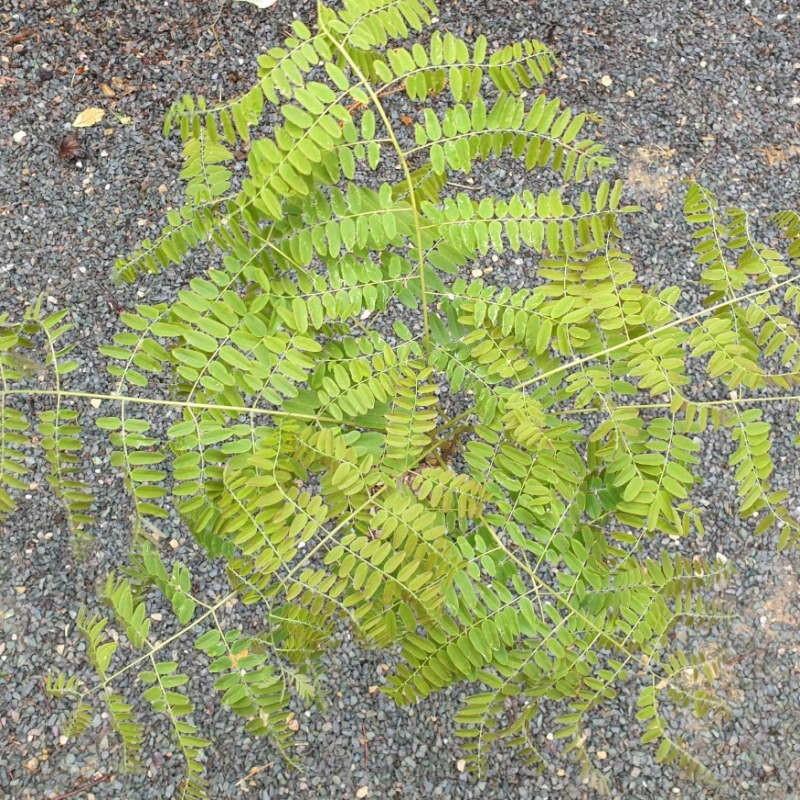 Gymnocladus chinensis - leaves in spring