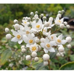 Deutzia multiradiata - early summer flowers