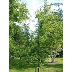 Acer campestre - growing as a small tree