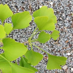 Ginkgo biloba 'Chi Chi' (Tit) - leaves in early summer