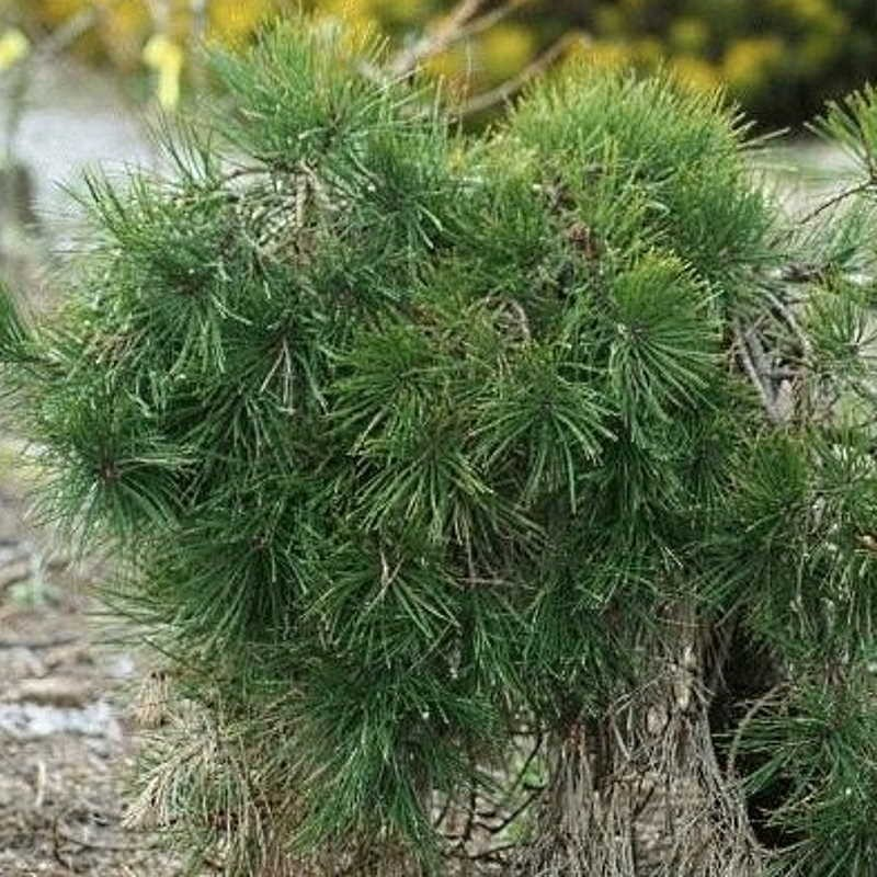 Pinus densiflora 'Pendula' - established plant