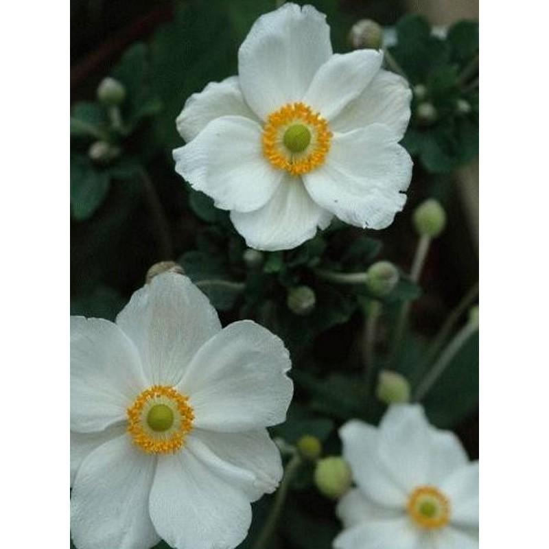 Anemone x hybrida 'Honorine Jobert' - summer flowers