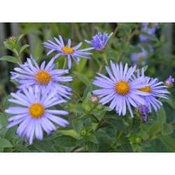 Aster x frikartii 'Monch' - summer flowers