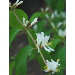 Lonicera maackii - summer flowers