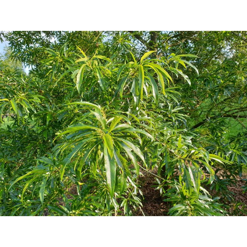 Quercus x schochiana - summer leaves