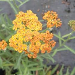 Achillea 'Terracotta' - summer flowers