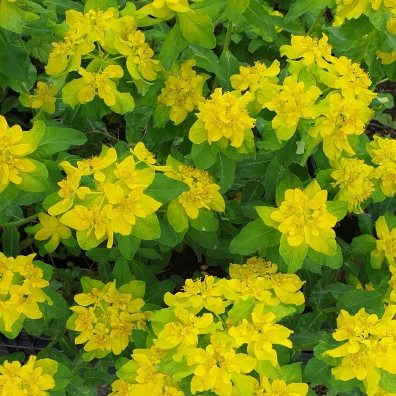 Euphorbia polychroma - spring flowers