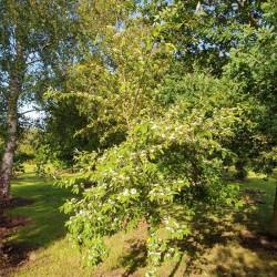 Cotoneaster frigidus 'Cornubia' - approx 6 year old tree