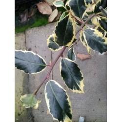 Ilex aquifolium 'Argentea Marginata Pendula' - variegated leaves