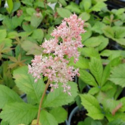 Rodgersia aesculifolia - summer flowers