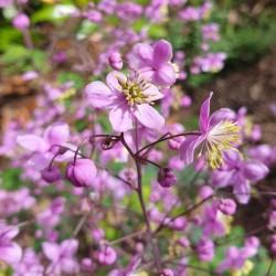 Thalictrum rochebrunianum - flowers close up