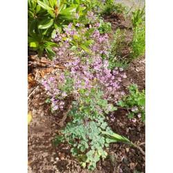 Thalictrum rochebrunianum - early July