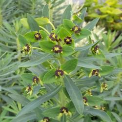 Euphorbia characias 'Black Pearl' - flowers