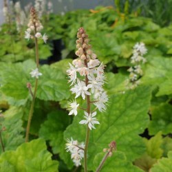 Tiarella wherryi - flowers in early summer
