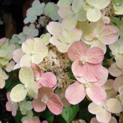 Hydrangea paniculata 'Switch Ophelia' - flowers in July