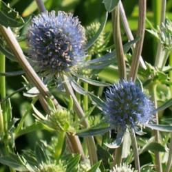 Eryngium planum 'Blauer Zwerg' - summer flowers