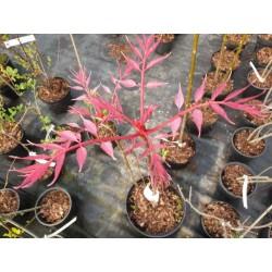 Toona sinensis 'Flamingo' - spring leaves