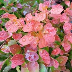Berberis thunbergii 'Admiration'  - summer leaves