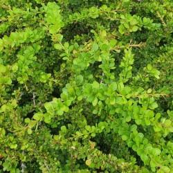Berberis thunbergii 'Green Carpet' - summer leaves