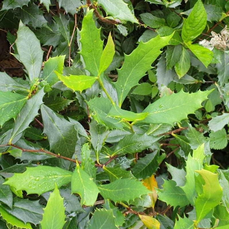 Berberis hypokerina - summer leaves