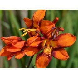 Crocosmia x 'Emily Mckenzie' - summer flowers