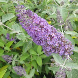 Buddleja 'Lochinch' - summer flowers