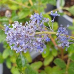Ceanothus 'Autumnal Blue' - late summer flowers