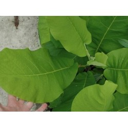 Magnolia macrophylla - huge leaves