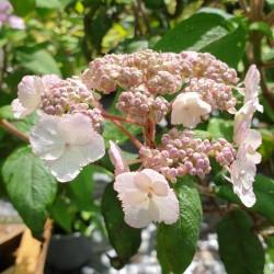 Hydrangea aspera 'Anthony Bullivant' - flowers in July