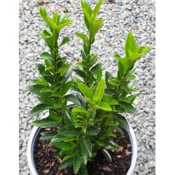 Euonymus japonicus 'Green Spire' - summer foliage