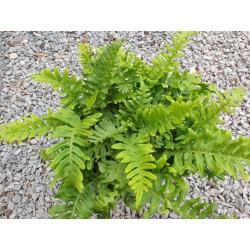 Polypodium vulgare 'Bifido Multifidum' - summer fronds