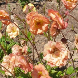 Geum 'Mai Tai' - close up of flowers