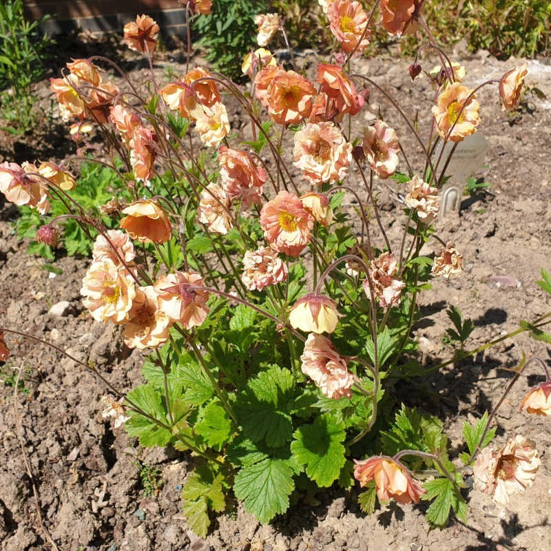 Geum 'Mai Tai' - flowers in early June