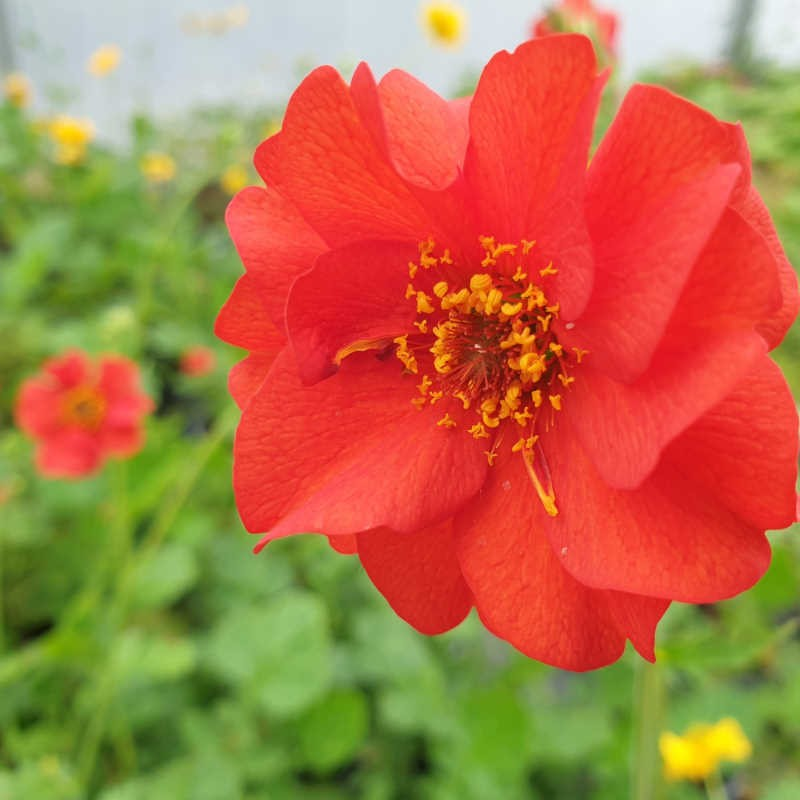 Geum 'Mrs J. Bradshaw' - flowers in June
