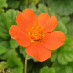 Geum borisii - flowers in June