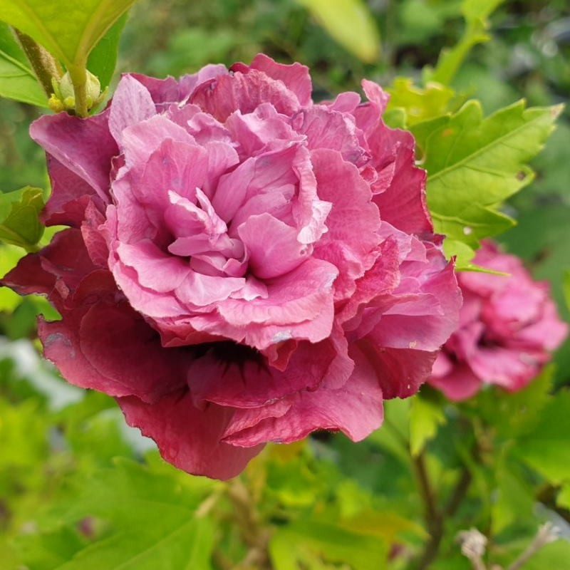 Hibiscus syriacus 'Duc de Brabant' - summer flowers