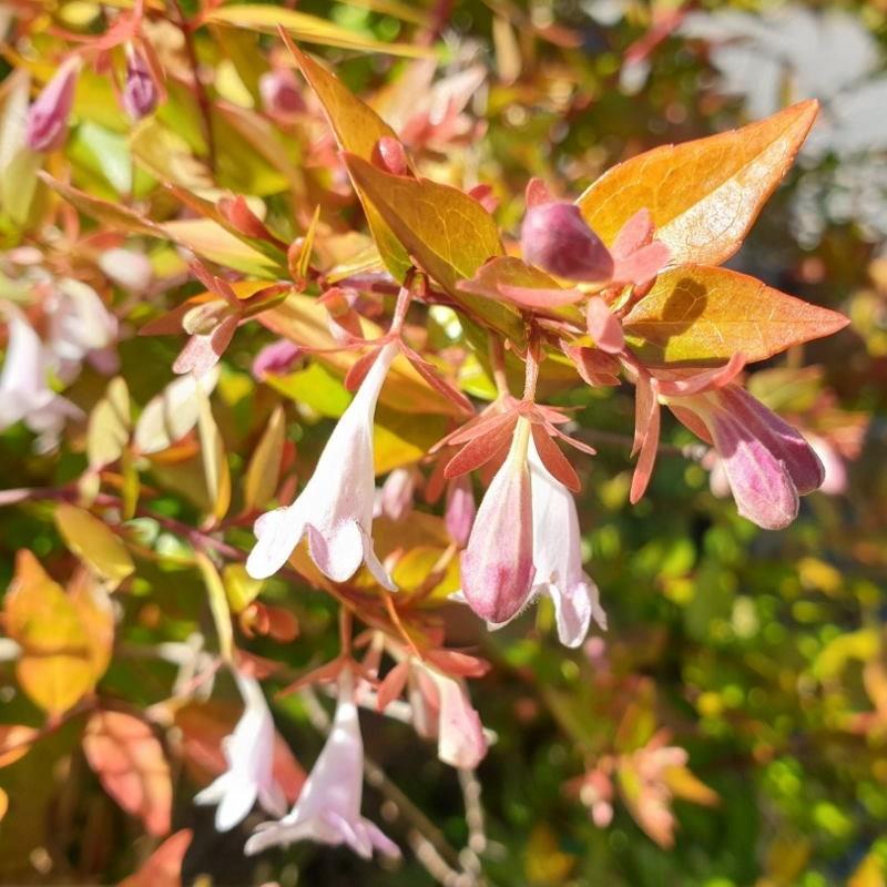 Abelia x grandiflora 'Francis Mason' - summer flowers