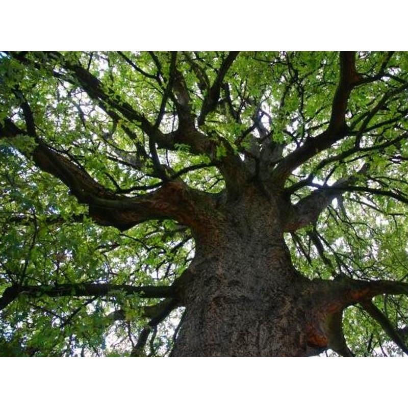 Quercus x hispanica 'Diversifolia' - established specimen