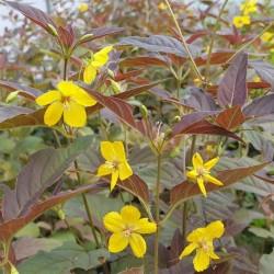 Lysimachia ciliata 'Firecracker' - summer flowers