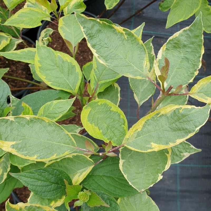 Cornus alba 'Spaethii' - summer leaves