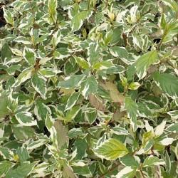 Cornus alba 'Sibirica Variegata' - variegated summer leaves