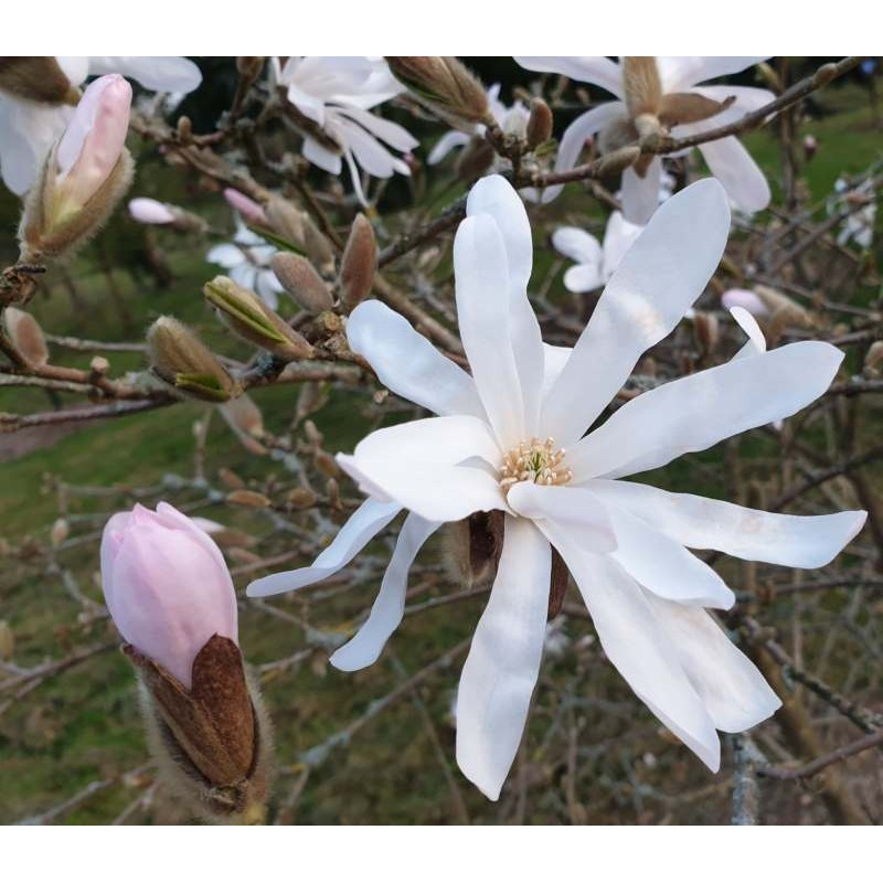Magnolia stellata 'Rosea' - pale pink in bud, white when open