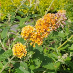 Buddleja × weyeriana 'Honeycomb' - summer flowers
