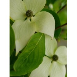 Cornus kousa 'Weisse Fountaine' - summer flower bracts
