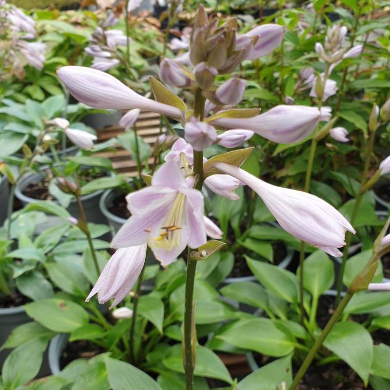 Hosta 'Devon Green' - summer flowers