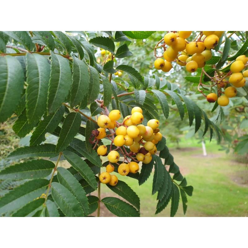Sorbus 'Sunshine' - fruit in autumn