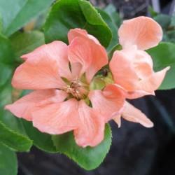 Chaenomeles speciosa 'Geisha Girl' - spring flowers